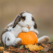 Can Rabbits Eat Pumpkin and Pumpkin Seeds?  Are They Safe For Bunnies to Eat?