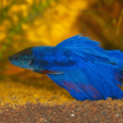How to Feed Betta Fish While Away or On Vacation - Our Tips & Guide