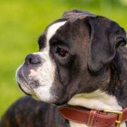Best Dog Food For Boxer Dogs